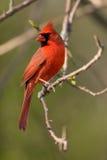 nordlig kardinal arkivbild