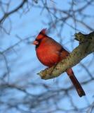 nordlig kardinal Royaltyfri Bild
