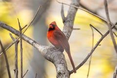 Nordlig kardinal & x28; Cardinalis cardinalis& x29; Royaltyfri Bild