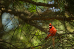 Nordlig kardinal (Cardinalis kardinaler) Royaltyfria Bilder