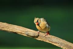 Nordlig kardinal - färgrik fågelbakgrund - se liv arkivfoto