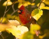 Nordlig kardinal i höst Fotografering för Bildbyråer