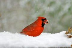 Nordlig kardinal i Snow arkivbild