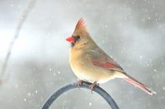 Nordlig kardinal, kvinnlig Fotografering för Bildbyråer
