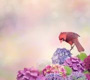 Nordlig kardinal med vanlig hortensiablommor Arkivfoto