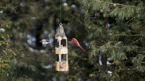 Nordlig kardinal och svartögd Junco i flykten Arkivfoton