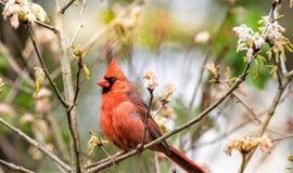 Nordlig kardinal- och vårtid royaltyfria foton