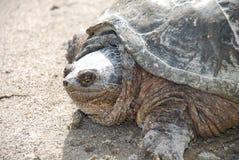 Nordlig låsande fast sköldpadda arkivbilder
