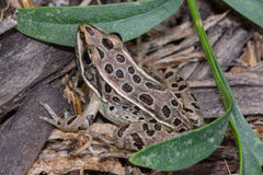 Nordlig leopardgroda royaltyfri bild