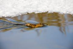 nordlig musk tjaller floden Arkivfoton