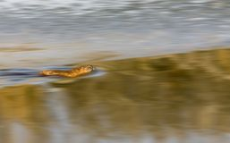 nordlig musk tjaller floden Royaltyfri Fotografi