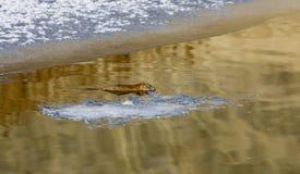 nordlig musk tjaller floden Royaltyfri Foto