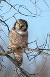 nordlig owl för hök Arkivbilder