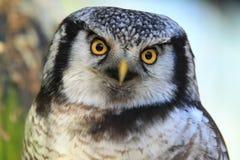 nordlig owl för hök Fotografering för Bildbyråer