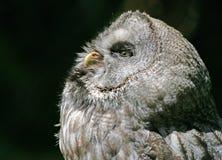 nordlig owl för hök Royaltyfri Fotografi