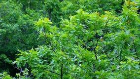 Nordlig röd ek (Quercusrubraen) stock video