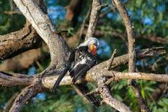Nordlig röd-fakturerad hornbill för fågel på trädet Royaltyfria Foton