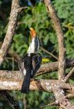 Nordlig röd-fakturerad hornbill för fågel på trädet Arkivbilder