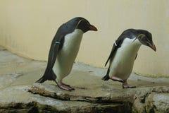 Nordlig rockhopperpingvin (Eudyptesmoseleyien) Royaltyfri Fotografi