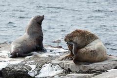 Nordlig sjölejon för råkkoloni Kamchatka halvö, Avachinskaya fjärd Arkivbilder