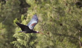 Nordlig skallig ibis (den Geronticus eremitaen) Royaltyfri Bild