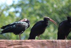 Nordlig skallig ibis, Geronticus eremita Arkivfoto