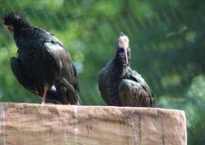 Nordlig skallig ibis, Geronticus eremita Fotografering för Bildbyråer