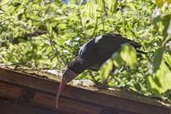 Nordlig skallig ibis - Geronticus eremita Royaltyfria Foton