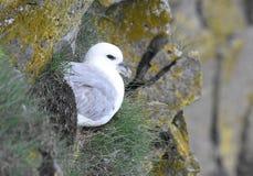 Nordlig stormfågel Arkivbilder