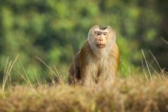 Nordlig Svin-tailed Macaque Royaltyfri Bild