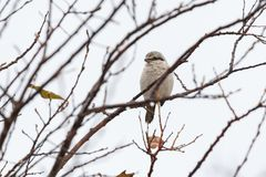 Nordlig törnskatafågel royaltyfria foton