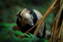 Nordlig tamandua, Tamandua mexicana, lös myrslok i naturskoglivsmiljön, Corcovado NP, Costa Rica Djurlivplats från arkivfoton