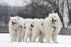 Nordlig utkasthundkapplöpning royaltyfri foto