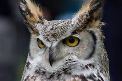 Nordlig vit vänd mot Owl Royaltyfria Bilder