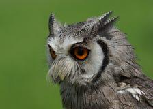 Nordlig vit vänd mot Owl Royaltyfri Bild