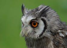 Nordlig vit vänd mot Owl Royaltyfri Foto