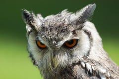 Nordlig vit vänd mot Owl Royaltyfri Fotografi