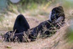 Nordlig vit vara fräck mot gibbon Royaltyfri Foto