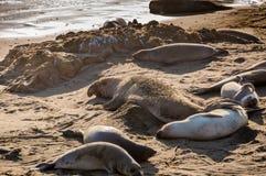 Nordliga angustirostris för Mirounga för elefantskyddsremsor som spelar och sover på en strand på den kaliforniska kusten Royaltyfria Bilder
