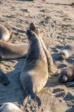 Nordliga angustirostris för Mirounga för elefantskyddsremsor som spelar och sover på en strand på den kaliforniska kusten Royaltyfri Foto