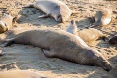 Nordliga angustirostris för Mirounga för elefantskyddsremsor som spelar och sover på en strand på den kaliforniska kusten Royaltyfria Foton