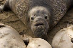 Nordliga elefantskyddsremsor (Miroungaangustirostris) Fotografering för Bildbyråer