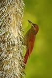 Nordliga gallerförsedda Woodcreeper, Dendrocolaptessanctithomae, lös fågel i skoglivsmiljön Djurlivplats från naturen, Belize Bir Royaltyfria Foton
