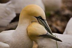 nordliga gannets Fotografering för Bildbyråer