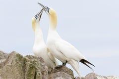 Nordliga havssulapar i kurtis royaltyfri foto