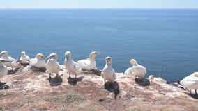 Nordliga havssulaseabirds på hög kust av den Helgoland ön arkivfilmer