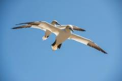 Nordliga havssulor Royaltyfri Fotografi