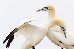 Nordliga havssulor i kurtis fotografering för bildbyråer