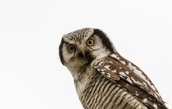 Nordliga Hawk Owl - Surniaulula - som vilar med vit bakgrund Royaltyfri Fotografi
