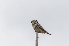 Nordliga Hawk Owl - Surniaulula - som vilar med vit bakgrund Arkivbilder